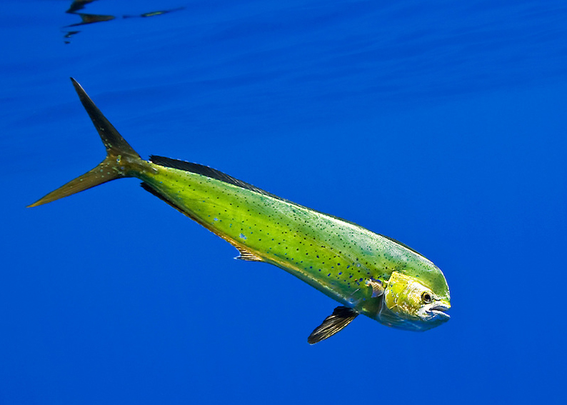 costa rica sportfishing dorado